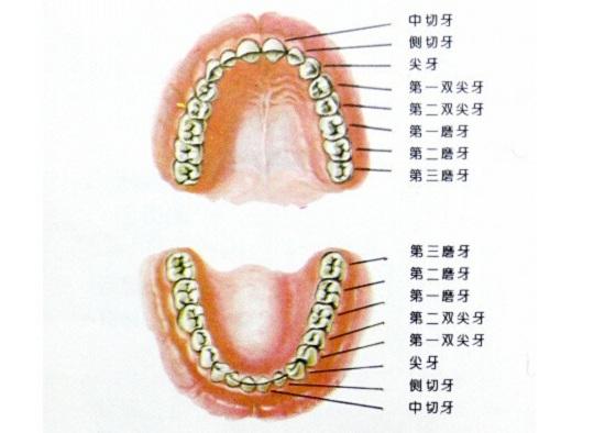 牙齿的分布和名称
