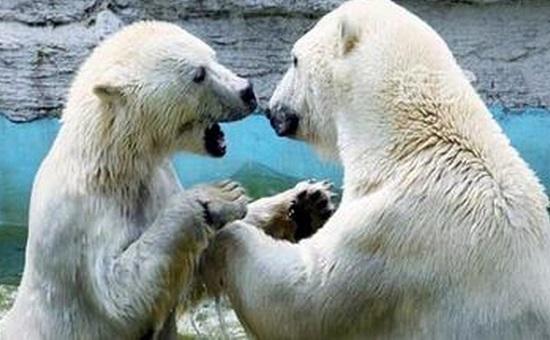老虎滩海洋公园的北极熊