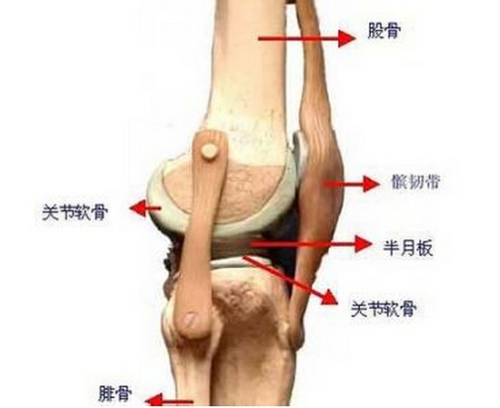 膝关节结构