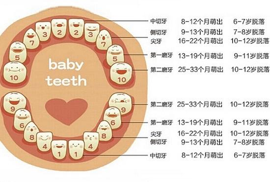 泰迪换牙时间顺序图解