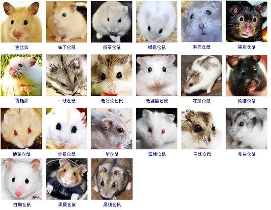 仓鼠的种类