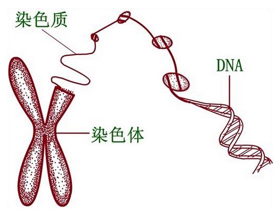 染色体和DNA