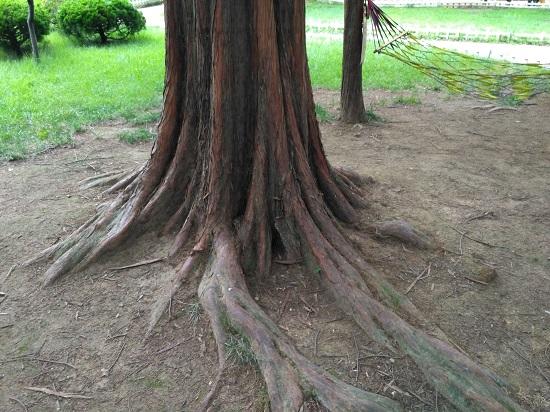 八大关的树
