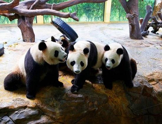 广州长隆的三胞胎大熊猫