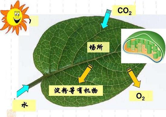 植物表面细胞的光合作用