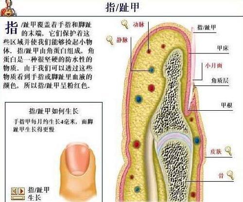指甲的构造