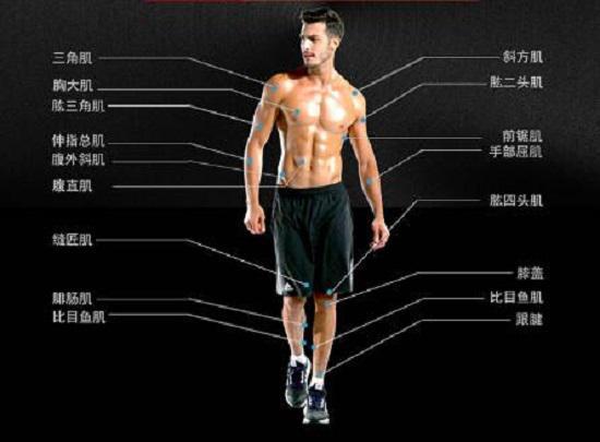 人体的主要肌肉群