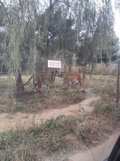 打闹中的老虎