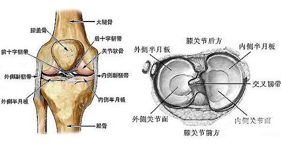 膝关节的结构