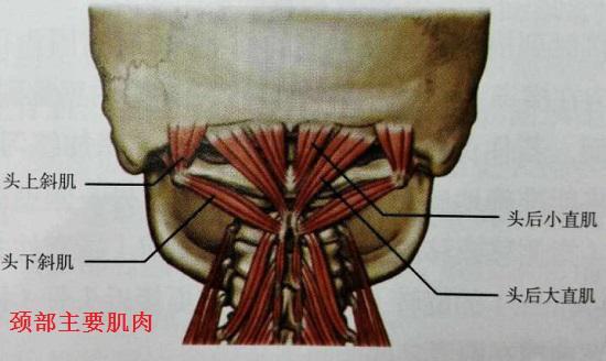 颈部肌肉群
