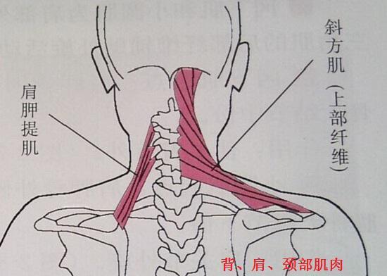 背、肩、颈部肌肉群