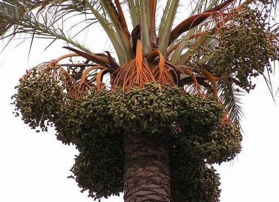 棕榈树和棕榈果
