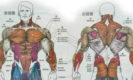 上肢主要肌肉