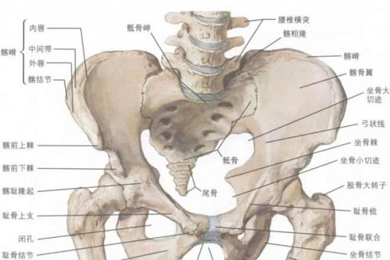 髋关节及周边骨骼