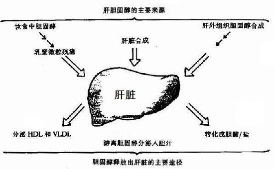 胆固醇在肝脏中的代谢