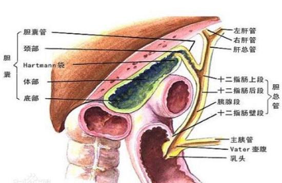 关于胆囊炎的几条常识