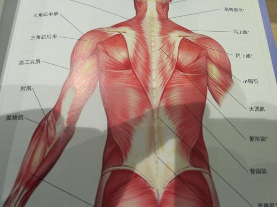 肩、背、臂部肌肉群